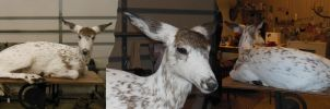 Piebald Button Buck by NCIS2013