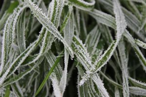 Frosted Gras 1 by wuestenbrand