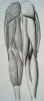 Muscles of the Leg -back side- by LonlyAntelope