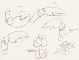 lobster anatomy study 3 by Tirrih