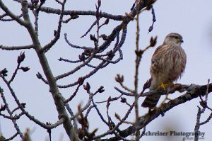 Merlin by KSPhotographic