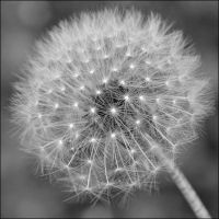 a dandelion by DaRaPhotos