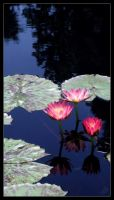 Family _ Pond Lily by bitair