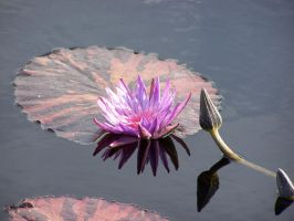 Osho's Lotus by morbiusx33