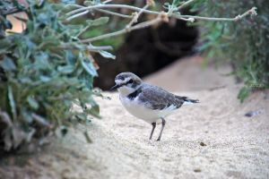 Snowy Plover 2 by MorrighanGW