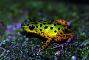 Isla Colon Dart Frog by MonarchzMan