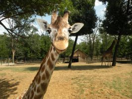 Funny Giraffe by LoreLovesMusic