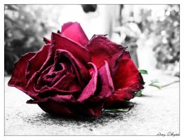 Roses are red... by laiaratoiel