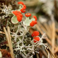 British Soldier Lichens by Arctida