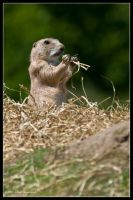 The Marmot by mym8rick