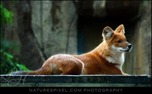 Dhole by Sonny2005