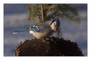 Hungry Blue Jay by dove-51