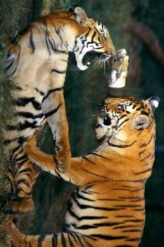 fighting tigers by hamy23p