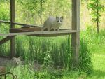 Two  White Foxes 10 by Windthin