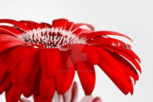 Red flower by rejmann