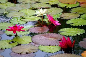 water lily by Mittelfranke