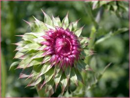 Purple Thistle IV by SuicideBySafetyPin