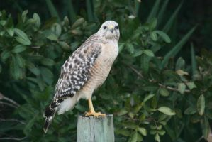 Red Shouldered Hawk on fence by Kippenwolf