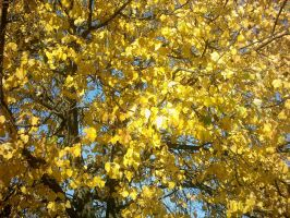 The Autumn Gold 09 by faelivrinen-stock