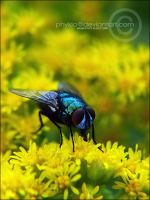 Hungry Fly by phykia