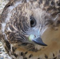 Young Red-Tailed Hawk 15a by Windthin