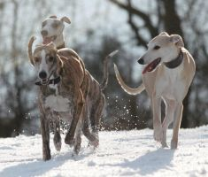Playing in the snow 5 by Whipet