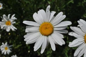 Daisy Stock by Blicrowave-Bloven