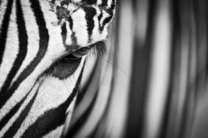 Zebra by BandasPhoto