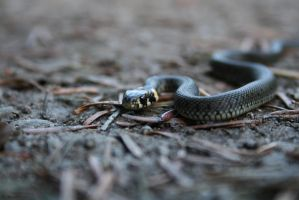 Grass Snake - Natrix natrix by Theknicon