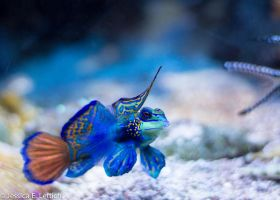 Mandarin Fish by Vespertine420