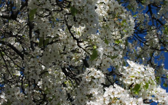 Tree Blossoms 3 by Leitmotif