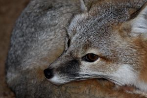 Swift Fox Apprehensive by Jack-13