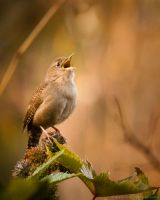 Chirping for attention by isotophoto