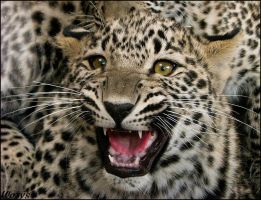 Baby leopard - a bit angry by woxys