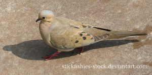 Mourning Dove 1 by Stickfishies-Stock