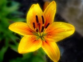 Golden Lilly 4 by friartuck40
