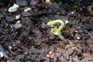 Texas Ebony Sprout 2 Day 6 by lamorth-the-seeker