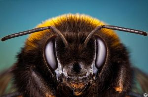 Bumblebee portrait by ~andreimogan