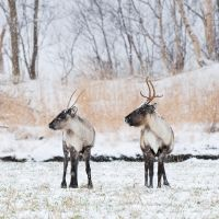 Reindeer in The Snow 2 by KennethSolfjeld