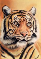 Tiger drawing by donnabe