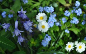 A Bluebell Amongst The Forget Me Not by Forestina-Fotos