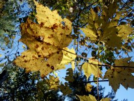 Fall-maple's yellow leaves by astutefish