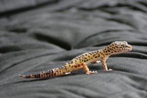 Leopard Gecko 11 by sd-stock