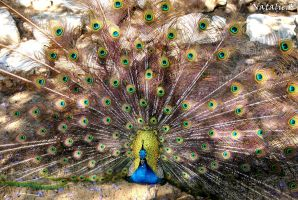 peacock by AngelicPicture