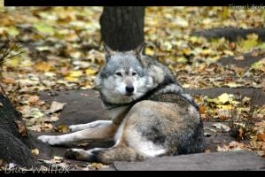 Female Greywolf by VitaniFox85