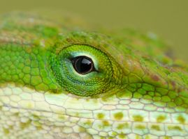 Anole eye by duggiehoo