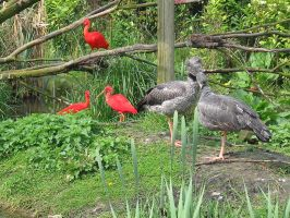 Scarlet Ibis and unknown fowl by schaduwvacht
