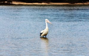 Pelican at Pottsville by CouchyCreature