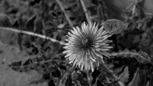 Black and white experiment - Dandelion by CheeseBurgerDeluxe