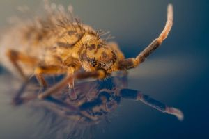 Springtail on water by Alliec